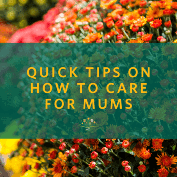 Quick Tips on How to Care for Mums