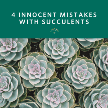 4 Innocent Mistakes with Succulents